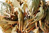 Live freshwater crayfish (full-frame)