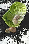 Two live snails on lettuce leaf and soil