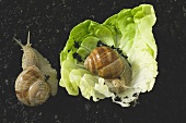 Two live snails on lettuce leaf and on soil