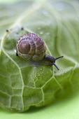 Snail on cabbage leaf (close-up)