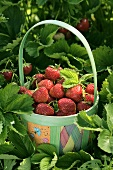 Strawberries in colourful basket among strawberry plants