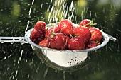 Washing strawberries in a sieve