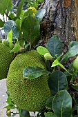 Durian on the tree