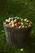 Windfalls in a basket