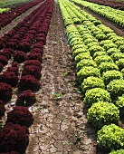 Salatfeld (Lollo rosso und Eichblattsalate)