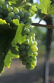 Grüner Veltliner grapes on the vine, Austria