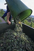 Emptying a basket of white wine grapes