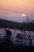 Picking grapes for ice wine at night, Rheingau, Germany