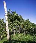 Cabernet Sauvignon, Weingut Schreckbichl, Girlan, Südtirol