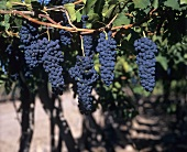 Shiraz grapes hanging on the vine (pergola trained)