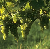 Gelber Muskateller grapes