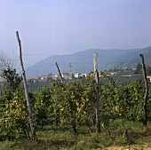 View of Santo Stefano over vineyard, Veneto, Italy