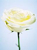 A white rose (close-up)