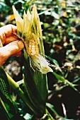 Husking maize
