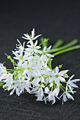 Ramsons (wild garlic) flowers
