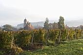 Weinreben bei Arbois im Jura, Frankreich