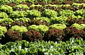 Lettuce field with various types of lettuce