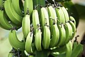 Bunch of bananas (Costa Rica)