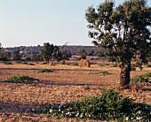Caper field