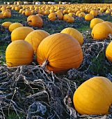Giant orange pumpkins on a farm