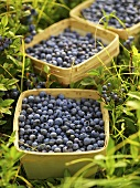 Freshly picked blueberries in baskets