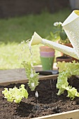 Watering young lettuce plants