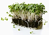Fresh cress with compost