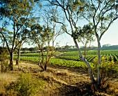 Wine-growing in Rhymney Valley, Great Western, Australia