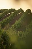Wine-growing near Patras, Peloponnes, Greece