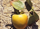 Kaki persimmon