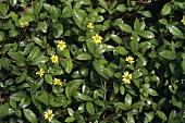 Medicinal plant: Wedelia chinensis (Osbeck) Merrill