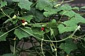 Ayurvedic medicinal plant: Mukia maderaspatana (Cucurbitaceae)