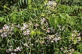 Persian lilac (Melia azedarach), India