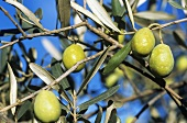 Green olives on the tree, Provence, France