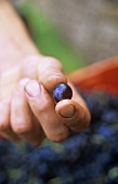 Hand holding a red wine grape