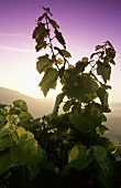 Morning in a vineyard, Randersacker, Franconia, Germany