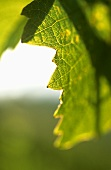 Vine leaf (close-up), Schoden, Mosel-Saar-Ruwer, Germany