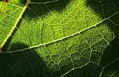 A vine leaf (close-up)