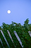 Full moon over a row of vines