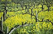 Biodynamic viticulture, Westhofen, Germany