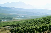 View over Jordan Vineyards, Stellenbosch, S. Africa