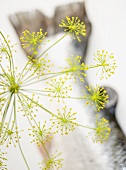 A dill flower with a salmon tail in the background