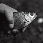 Hand holding a live fish