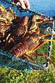 Fresh spiny lobsters in basket trap