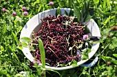 Dish of elderberries in grass