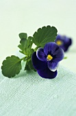 Pansy with leaves