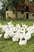 Geese in a pasture, cottage in the background