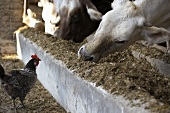 Cows feeding in a stall with a hen