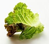 Batavia Leaf