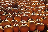 Many Pumpkins on a Farm